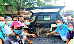 DENR-12 rescues PH crocodile, pythons in Maguindanao