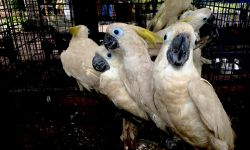 RESCUED SULFUR-CRESTED COCKATOOS